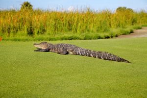 alligator golf course gag