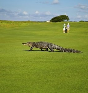 golf pranks alligator on course