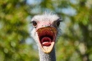 Ostrich-laughing-at-golf-jokes